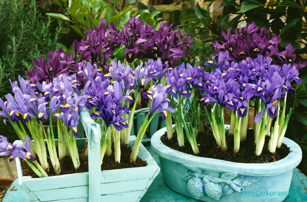 İris Çiçeği Bahçesi